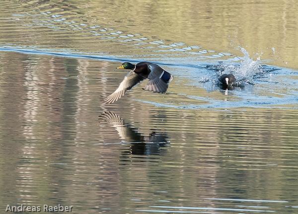 Hubentaucher verfolgt Ente