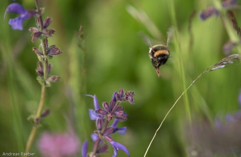 Biene Wiese Adetswil