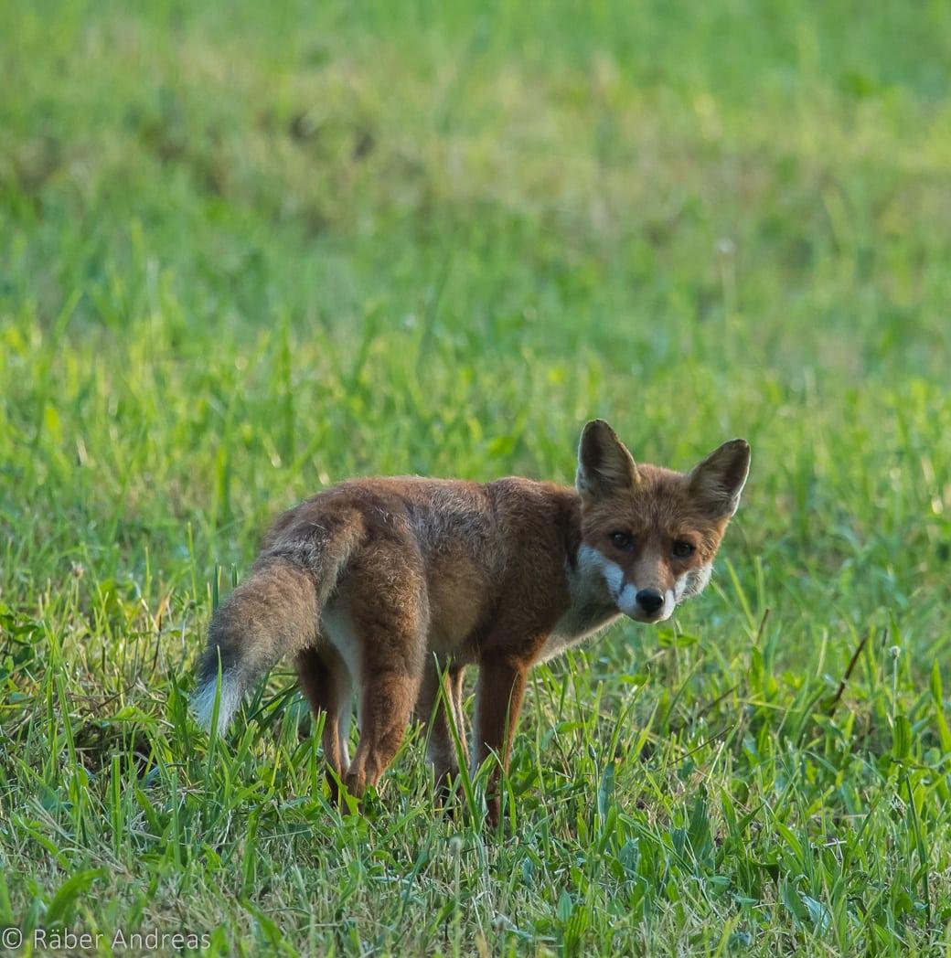 Fuchs, entdeckt in Adetswil, Zürcher Oberland