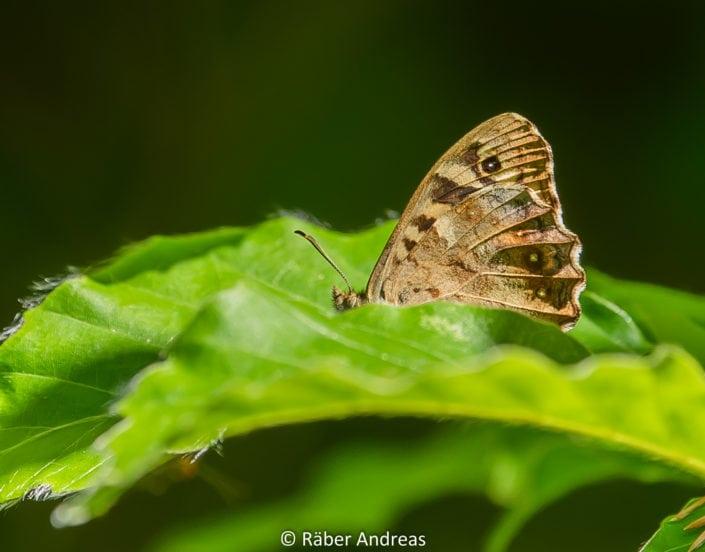 Schmetterling, Wald Bäretswil 2017