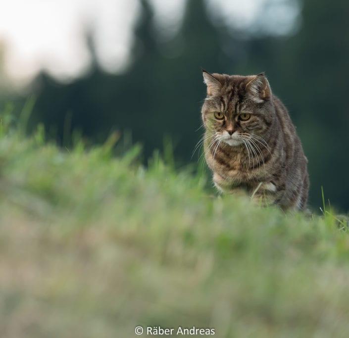Katze, Adetswil - 2017