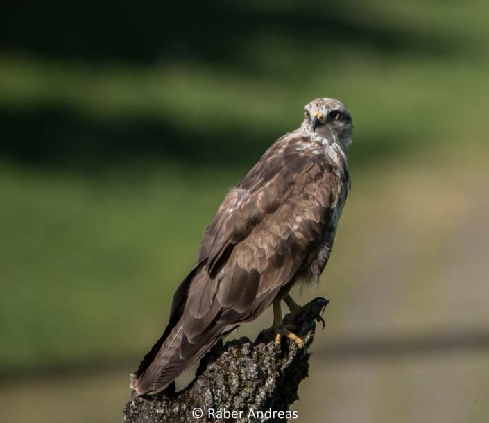 Vogelfotografie: Mäusebusshard