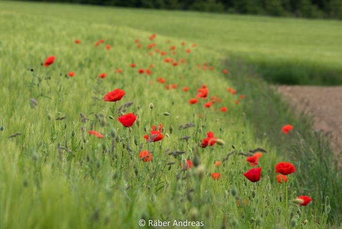 Mohnblumen auf Feld beim Pfannenstil