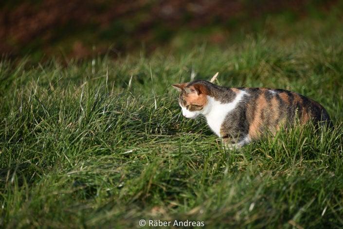 Katze auf der Jagd in Adetswil