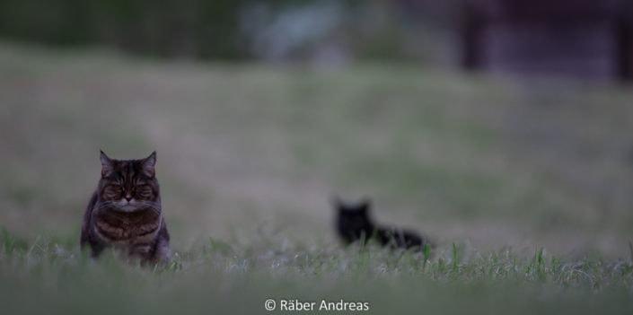 Katze beim Jagen in Adetswil