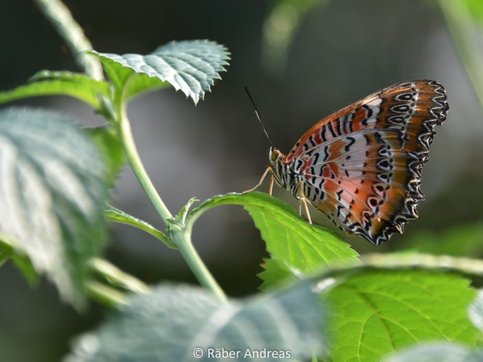 Schmetterling Papiorama, Kerzers
