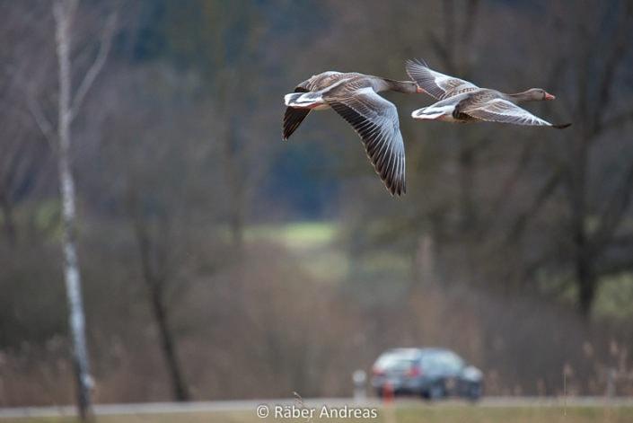 Graugänse am Greifensee, die die Flucht ergreifen