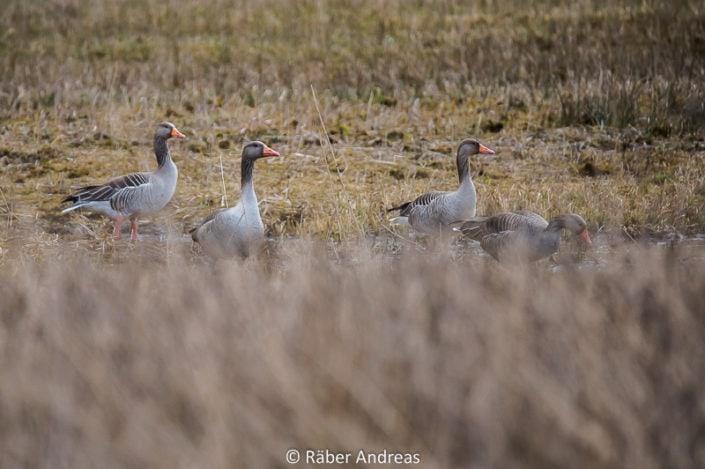 Enten vor der Flucht :-) am Greifensee in Uster
