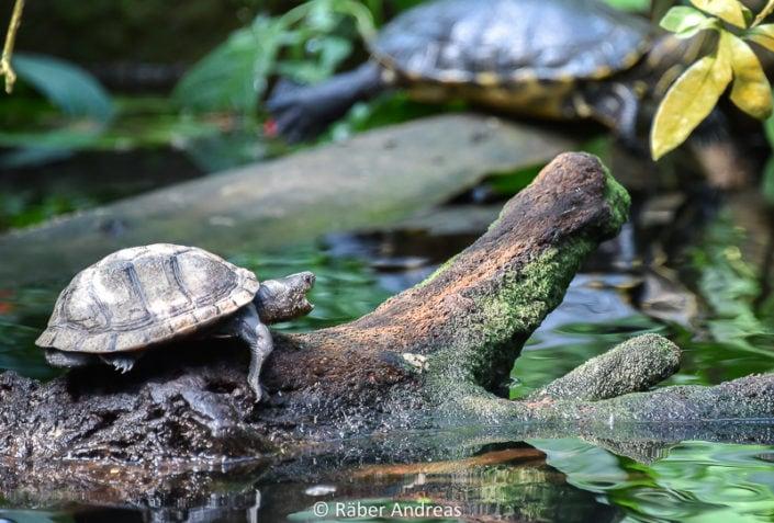 Schildkröte im Papiorama in Kerzers