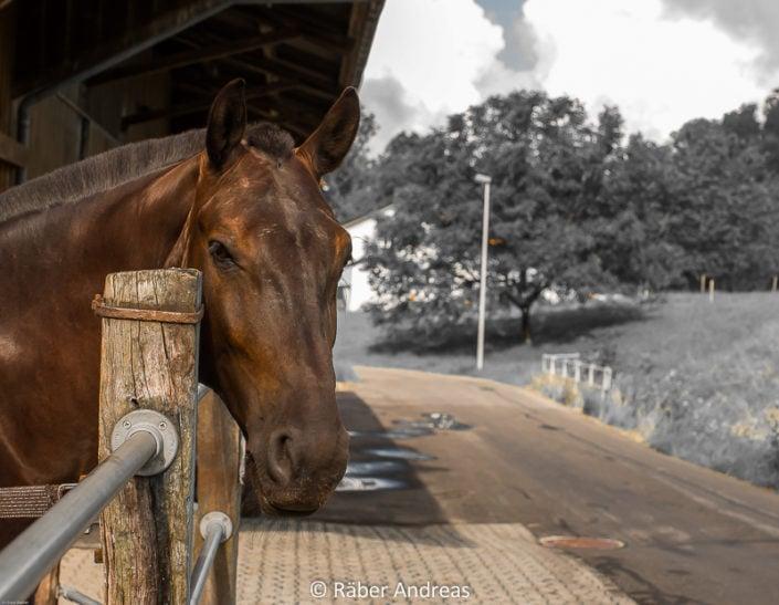 Pferd in einem Rossstall in Adetswil