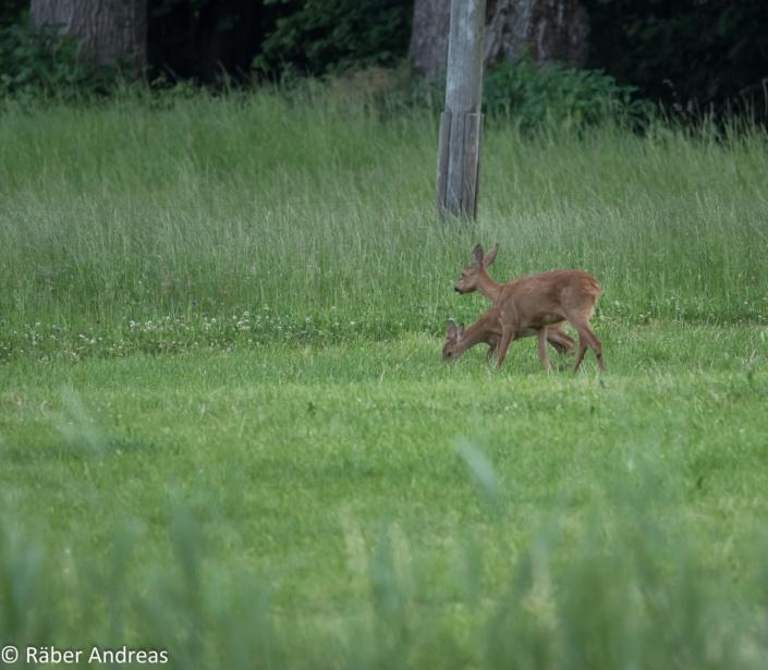 Tierfotografie: Rehe Adetswil, Zürcher Oberland
