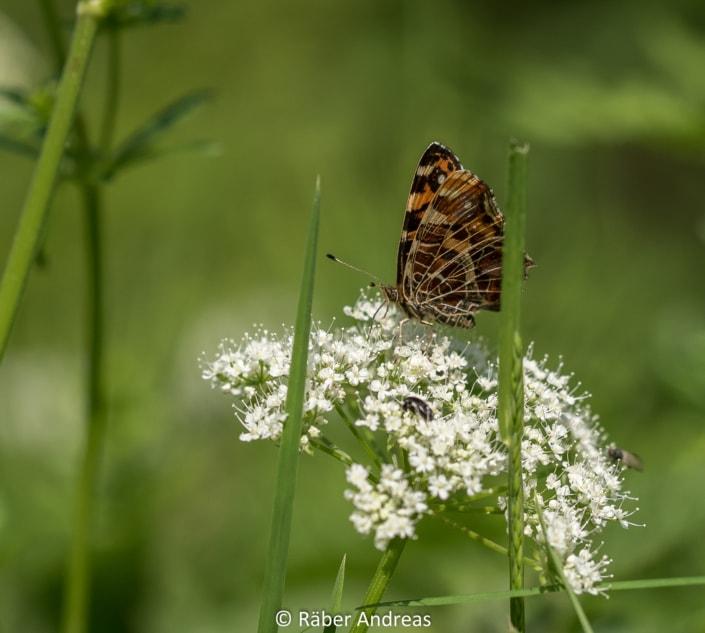 Schmetterling Wald, Adetswil