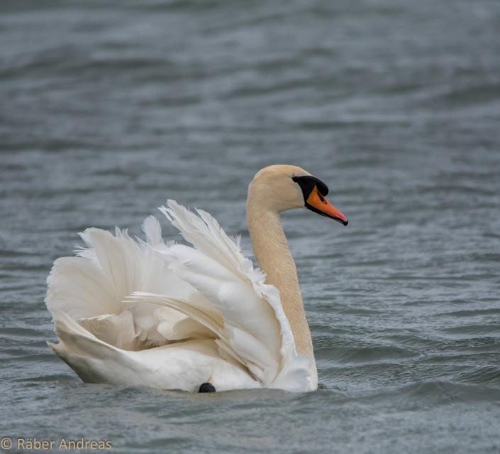 Schwan im Broye-Kanal