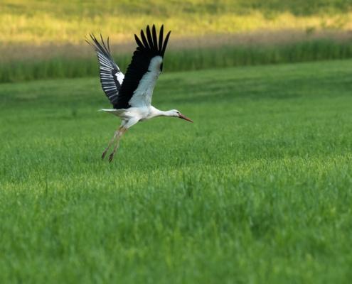 Startender Storch, nähe Oetwil am See, Zücher Oberland