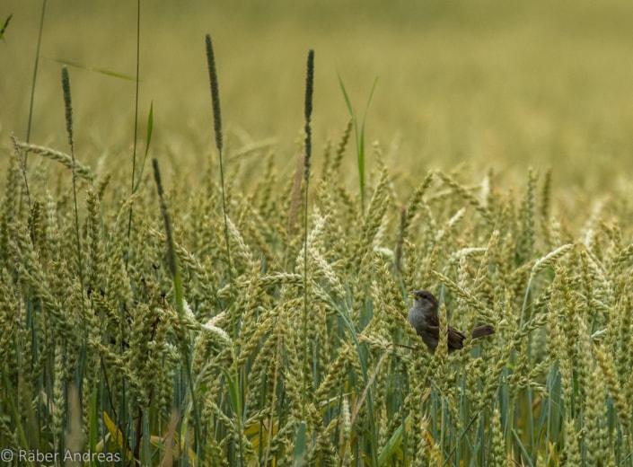 Naturfotografie: Spatz am Greifensee